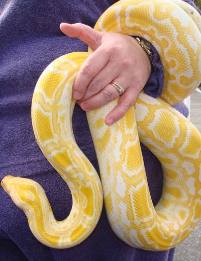 An albino Burmese Python like this visted Middleburg library with Reptiles Alive!