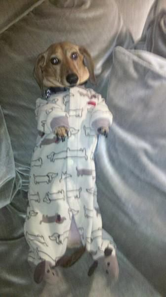 A Doxie in doxie jammies!