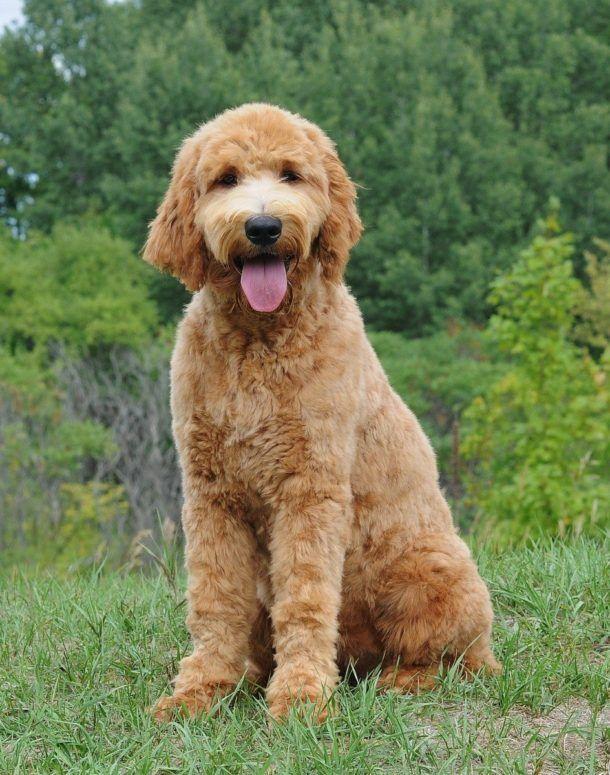 Best Dog Food For Goldendoodles Best Dog Food