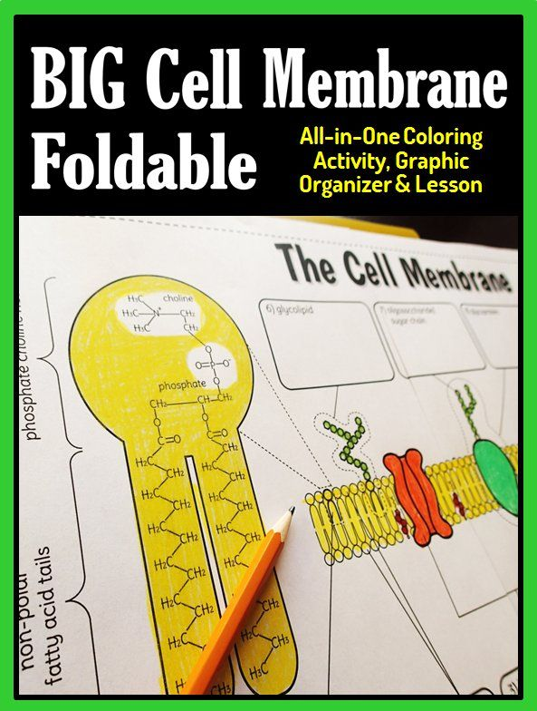 Gr.8-12 Get your students really interested in learning about cell membranes with this large foldable graphic organizer.  It can be used to teach a lesson on cell membranes as well as be used as a coloring activity. This will be a guaranteed hit in your science classes!