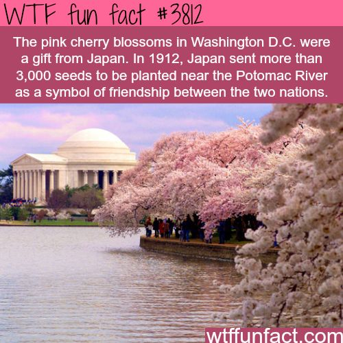 Pink cherry blossoms in Washington D.C. - WTF fun facts | been there and its so beautiful