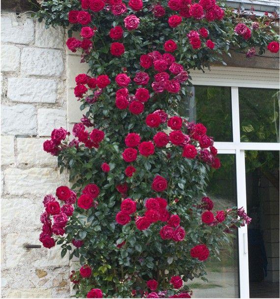 Fleurs en ligne Jacques Briant : ROSIER GRIMPANT LE GRAND HUIT® Adabaring, arbres, potagers, rosiers, vivaces, arbustes pour jardin, terrasse, balcon réussis !