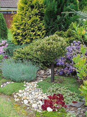 Fantastická hra barev: žlutá azalka, červený a bílý rododendron, temně modré hořce, fialové petrklíče, vpravo konifera, vlevo vzácný ostrolistec. Ten dle prodejců neměl vydržet v tuhých podkrkonošských podmínkách déle než rok. Je zde už skoro patnáct let.
