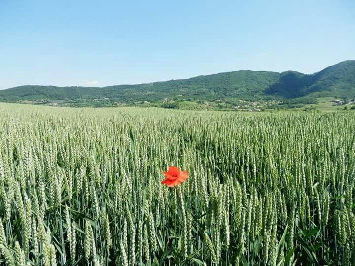 Alone poppy in a wheat field. Somewhere near Vicenza, Italy.