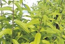 Kaunid lehed ja oivaline sidrunilõhn  Sidrunaloisia (Aloysia triphylla)