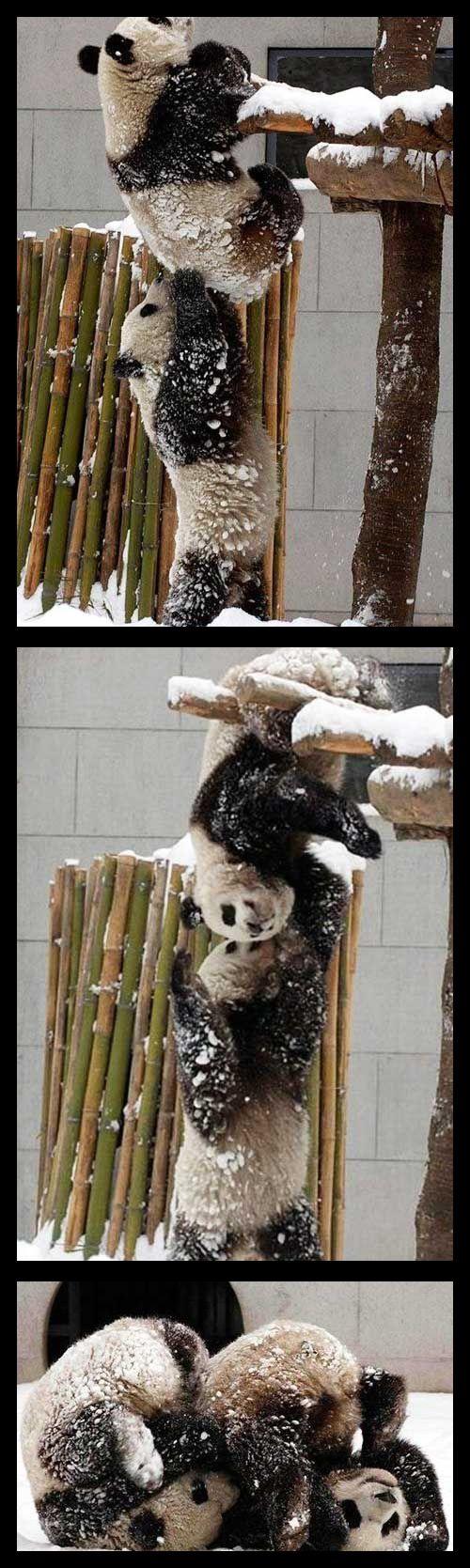 panda acrobats!