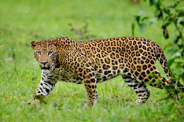 Leopard. Rajiv Gandhi Tiger Reserve, Nagarhole, Kabini, Karnataka, India.