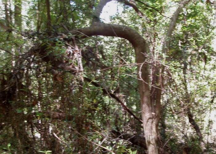Tasmanian Plants - Cunoniaceae Anodopetalum biglandulosum Tree showing horizontal branches