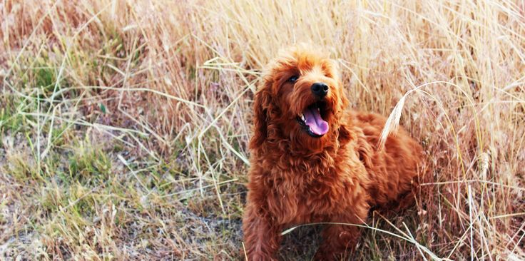 Small breeding kennel specializing in Miniature Red, Apricot, and Chocolate Mini Goldendoodles and Labradoodles.