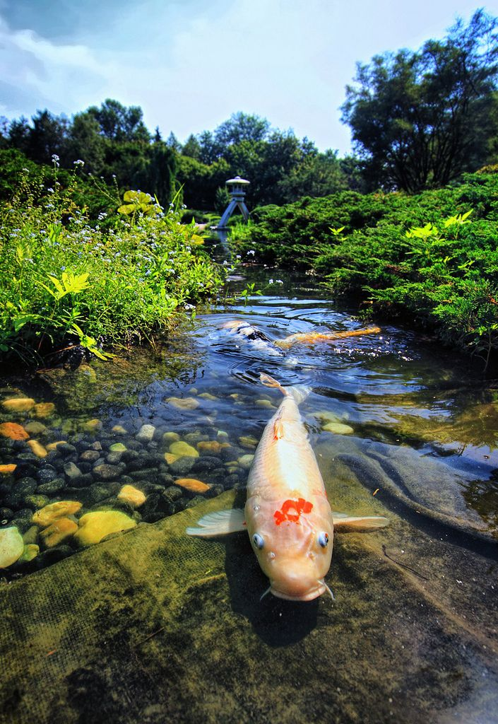 17 best images about bassins carpes koi shubunkin on for Artificial koi fish for ponds