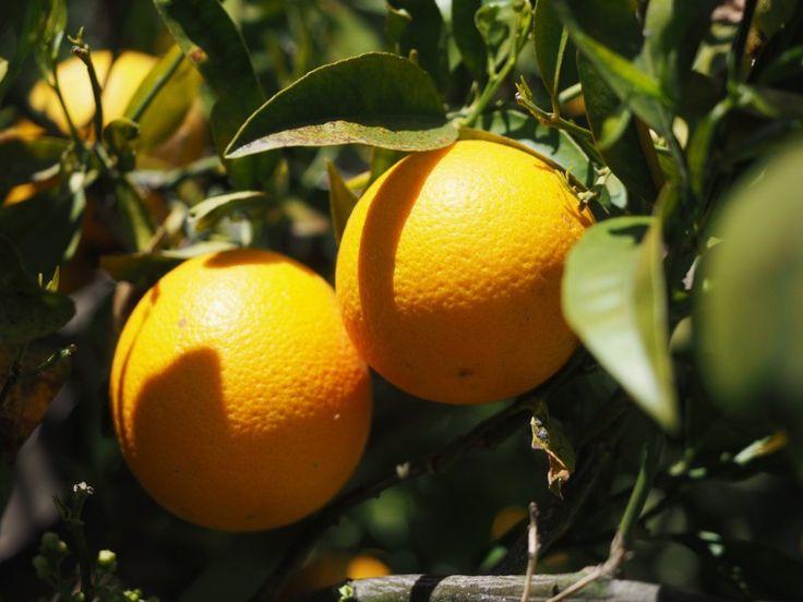 Самый простой способ почистить апельсин   Сладкие, сочные, содержащие большое количество витамина С и антиоксидантов, апельсины представляют собой идеальную здоровую закуску, которую можно съесть на ходу. Но их не всегда можно просто почистить, так как цедра забивается под ногти, а сок забрызгивает все вокруг. Согласитесь, что в дороге такой вариант мало кого может устроить. Как почистить апельсин, чтобы было легко и просто — мало кто знает.  Оказывается, есть простой способ очистить…