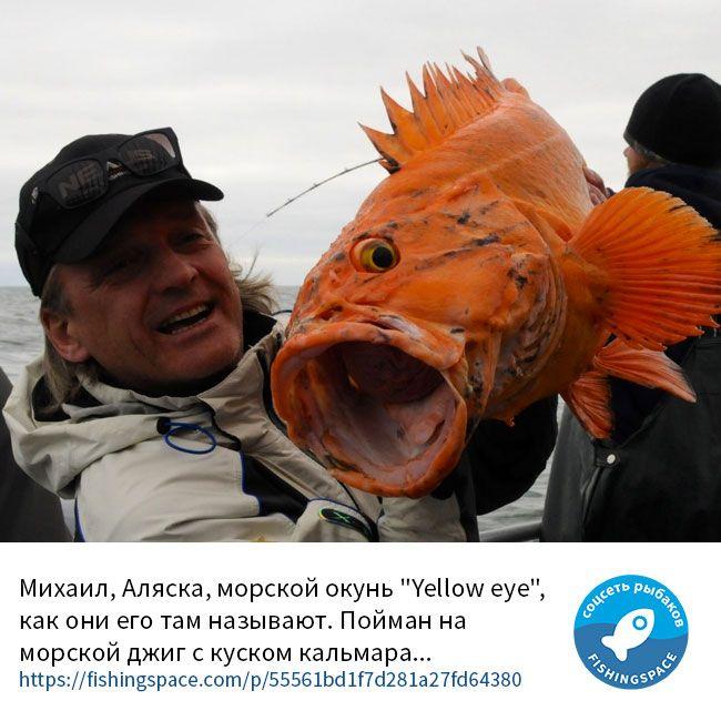 """Михаил, Аляска, морской окунь """"Yellow eye"""", как они его там называют. Пойман на морской джиг с куском кальмара... https://fishingspace.com/p/55561bd1f7d281a27fd64380"""