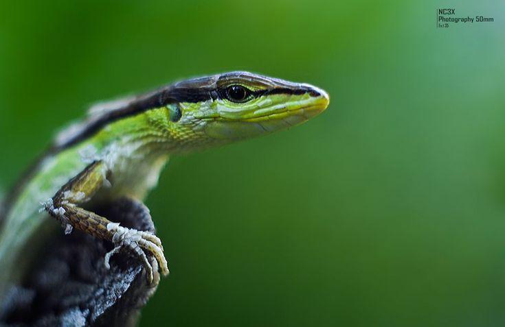 lizard by NC3X