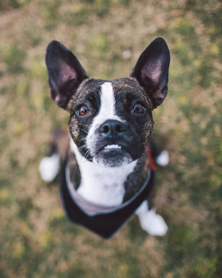 chihuahua french bulldog mix 52 best french bullhuahua images on pinterest french 7648