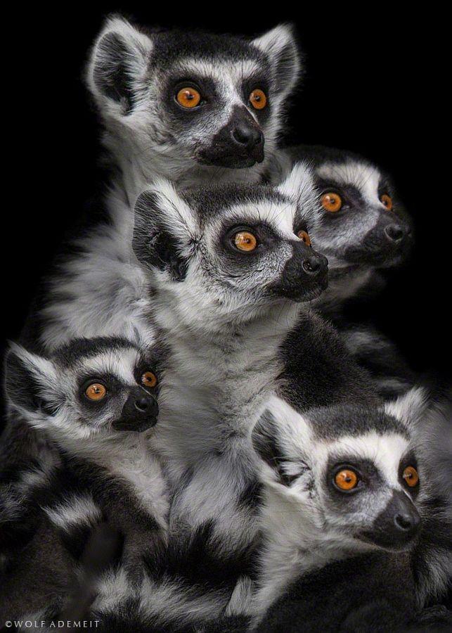 """Die ganze Affen-Bande brüllt: """"Wo ist die Kokus-Nuss?""""..."""