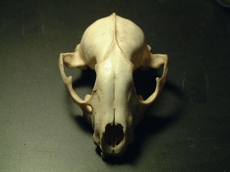 Animal Skulls Animal Skull 1