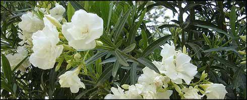 Adelfa (planta venenosa)