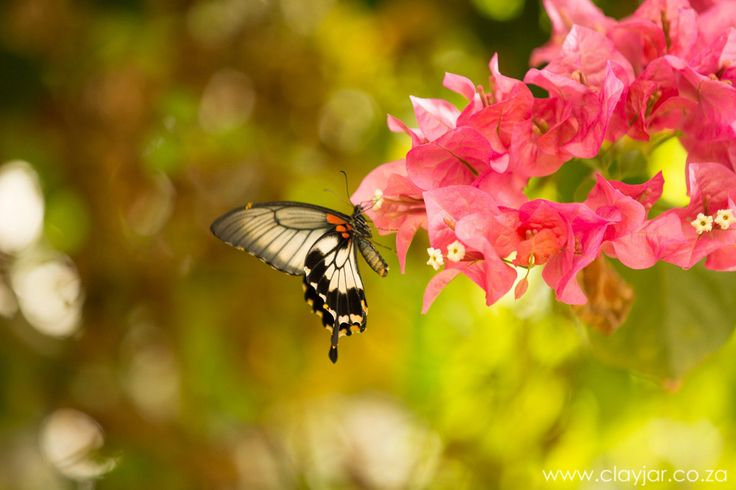 Butterfly   Cape Town Photographers   Clay Jar Photography
