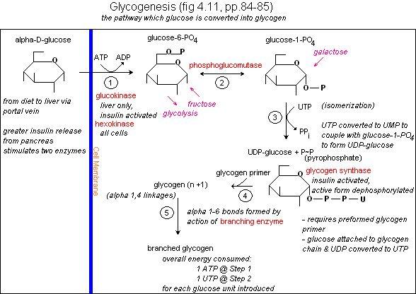 What is Glycogenesis? diabetes-nursing school help Pinterest