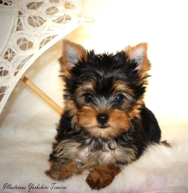 Miniature Yorkshire Terrier Rescue | Small, Yorkshire Terrier Puppies Cute Small Dogs : Yorkshire Terrier ...