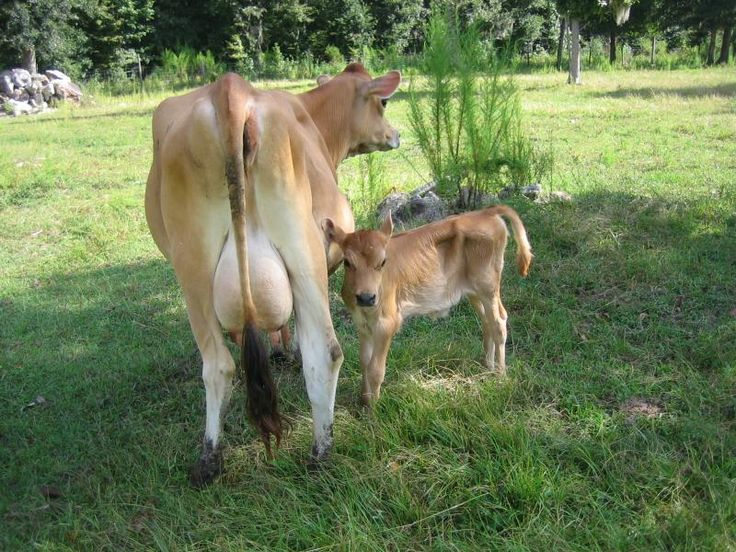 Jersey Cattle | This is one of our jersey cows with calf.