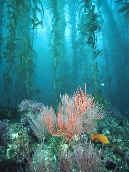 Giant Kelp (Macrocystis Pyrifera) Forest with Garibaldi, Channel Islands National Park, California Photographic Print by Flip Nicklin/Minden Pictures at Art.com