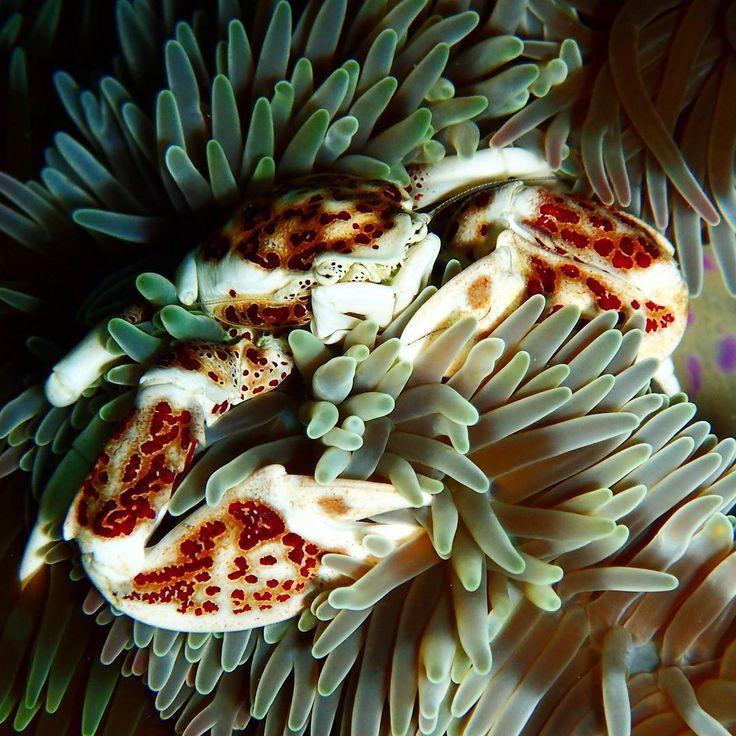 今日はムーチーの日 カニダマシくんも葉に包まれた風 #アカホシカニダマシ  #カニダマシ #カニ #ではない #マッチョ #たくましい腕  #Redspottedporcelaincrab  #porcelainanemonecrab #crab #underwaterphotography  #underwaterworld  #diving #scubadiving #okinawa #沖縄 #ダイビング #水中写真 #コンデジ #海が好き #写真が好き #ムーチーの日  #カーサムーチー #月桃 #餅 スーパー行ったらもう売り切れ 昨日食べたから今年も健康ᕦ(ò_óˇ)ᕤ
