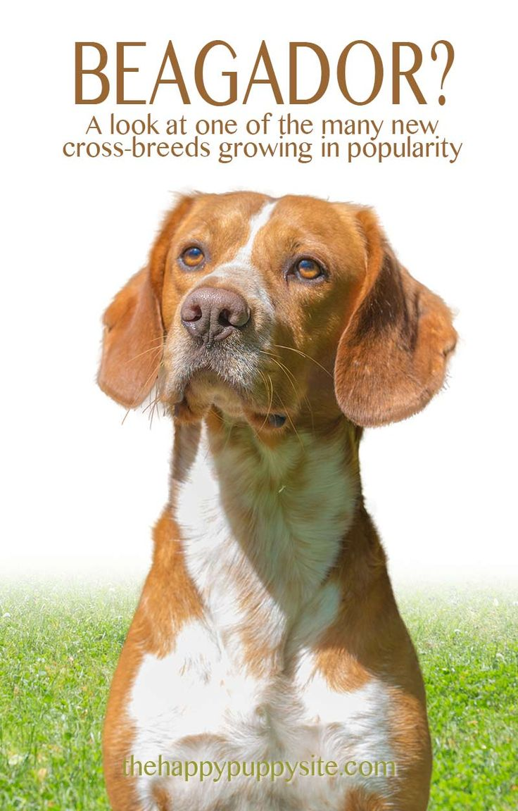 Beagle Lab Mix - a guide to the beagador cross breed