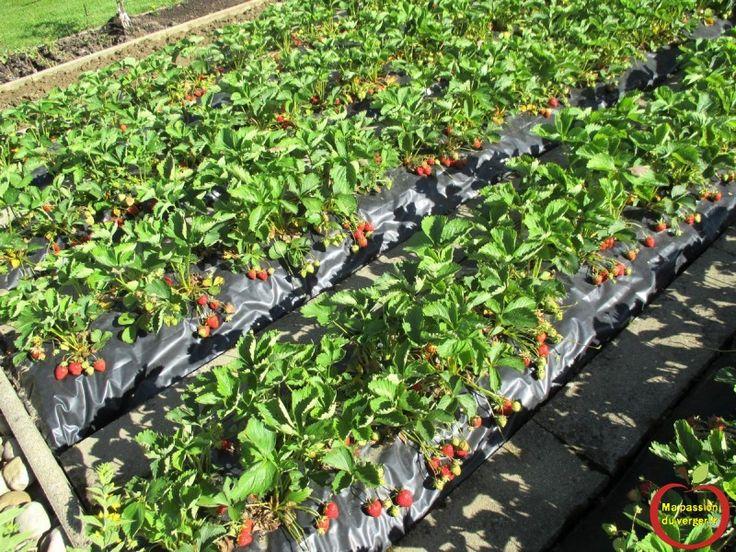 32 Best Planter Des Fraisiers Sans Entretien Sur Bache Images On