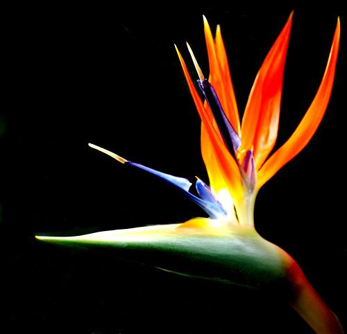 Expressing freedom, joy, and a new perspective on life, the bird of paradise flower is a powerful symbol. [p-ink.org]