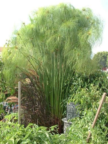 16 best images about king tut grass on pinterest cyperus for Ornamental grasses for ponds