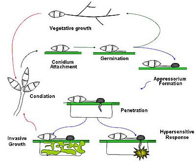 Disease cycle of Magnaporthe oryzae