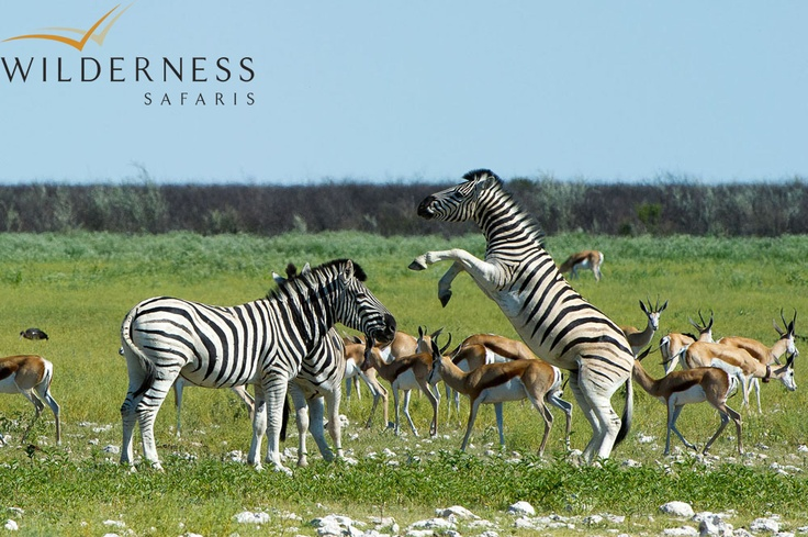 Andersson's Camp - Most general game are present in the Ongava Game Reserve as well as within Etosha National Park: including springbok, gemsbok, wildebeest, Burchell's zebra, Hartmann's mountain zebra, waterbuck, red hartebeest, giraffe, eland and the endemic black-faced impala. #Safari #Africa #Namibia #WildernessSafaris