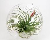 Items similar to Hanging air plant terrariums on Etsy. , via Etsy.