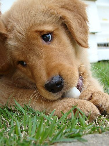 Puppys, Golden retrievers and Faces on Pinterest