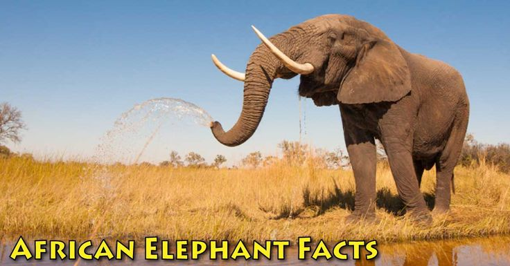 African elephant information and facts for kids