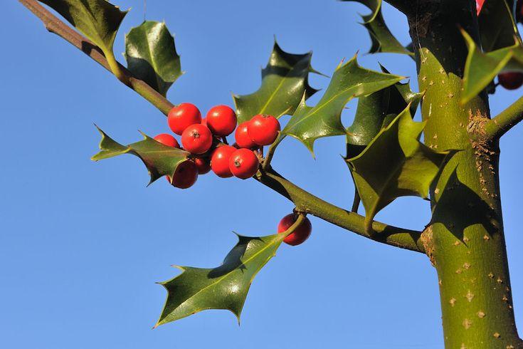 Bestimmungsmerkmale: Die Stechpalme wächst als Strauch, aber auch als Baum und wird bis zu 10 m hoch. Sie trägt immergrüne, glänzende Blätter, die dornig gezähnt und eiförmig sind. An älteren Bäumen findet man auch ganzrandige Blätter. Die weißen Blüten stehen zu mehreren in den Blattachseln. Sie haben 4 Blütenblätter und erscheinen von Mai - Juni. Im Herbst entwickeln sich dann die Beeren, sie reifen von grün über gelb nach rot. Die Stechpalme kann bis zu 300 Jahren alt werden.