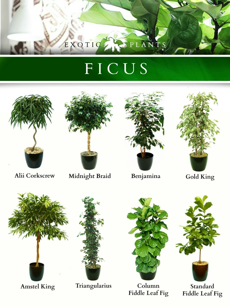 ravishing identify house plants. Ficus  Outdoor PlantsPotted 56 best Indoor Plants images on Pinterest Landscaping