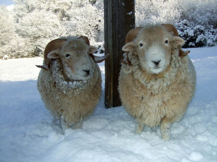 Ram Big Horn >> Exmoor Horn ram lambs in the snow, Devon, England 'ELVIS' and 'THE BIG BOPPER' - Schapen en Wol