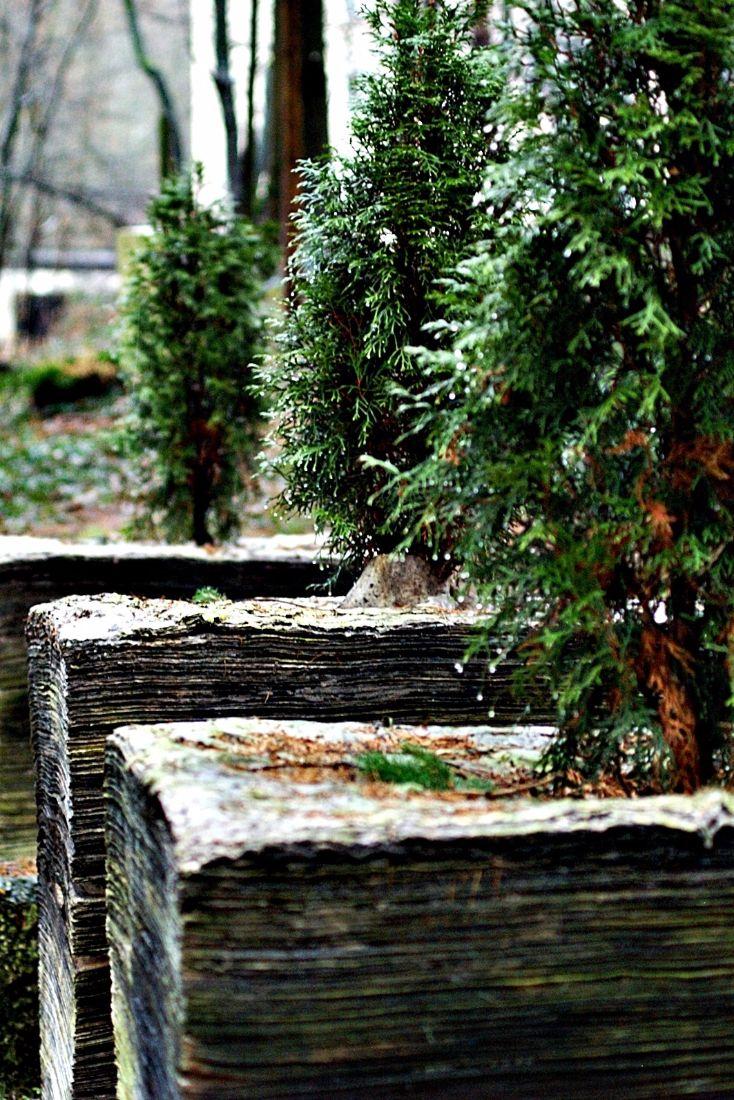 35 best arborvitae trees images on pinterest arborvitae tree