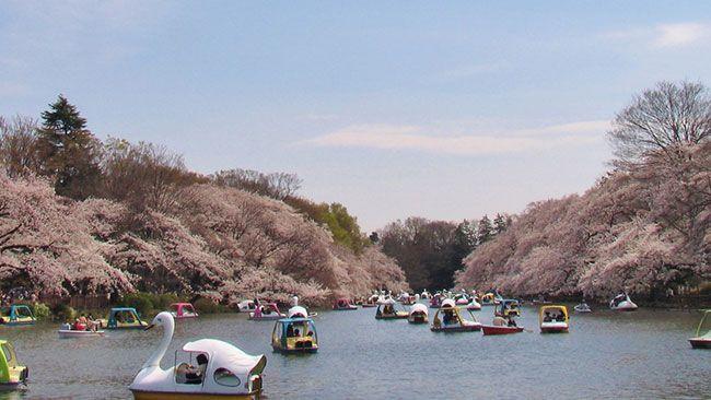井の頭恩賜公園 桜の名所10選【東京編】SAKURA cherry blossoms
