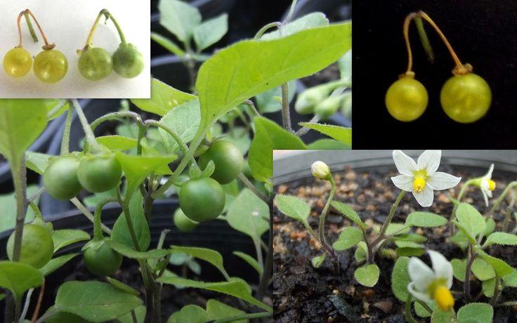 Green Berry Nightshade Solanum Opacum Morelle Verte Seeds