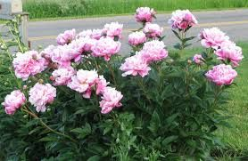 Christine's all time favorite and great cutting flower if we are up.  I don't want to give it too much real estate but would love to get it worked in.  Pink is her favorite.
