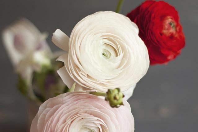 Ranunculus Flowers - Persian Buttercup