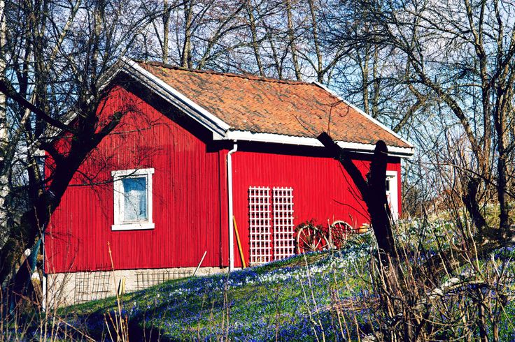 Pretty red Norwegian house with spring flowers in the grass.