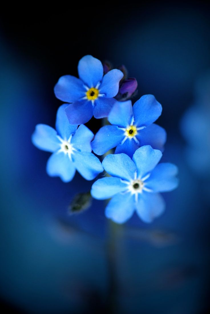 ~~Forget-me-nots by Laura Laroux~~