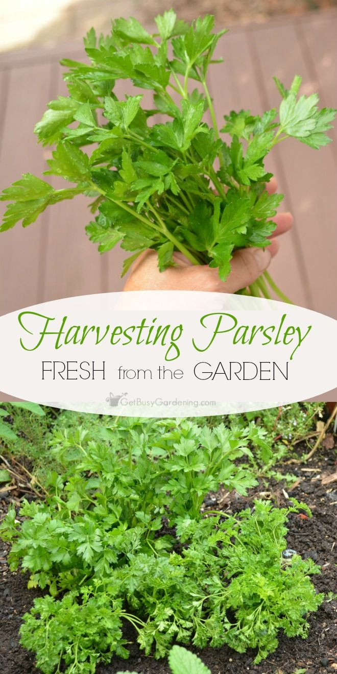 the parsley garden After describing the benefits of growing herbs at home in home & garden health & fitness more live better ten of the best herbs to grow in containers.