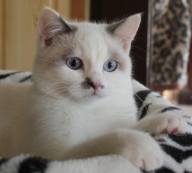 bluepoint white british shorthair
