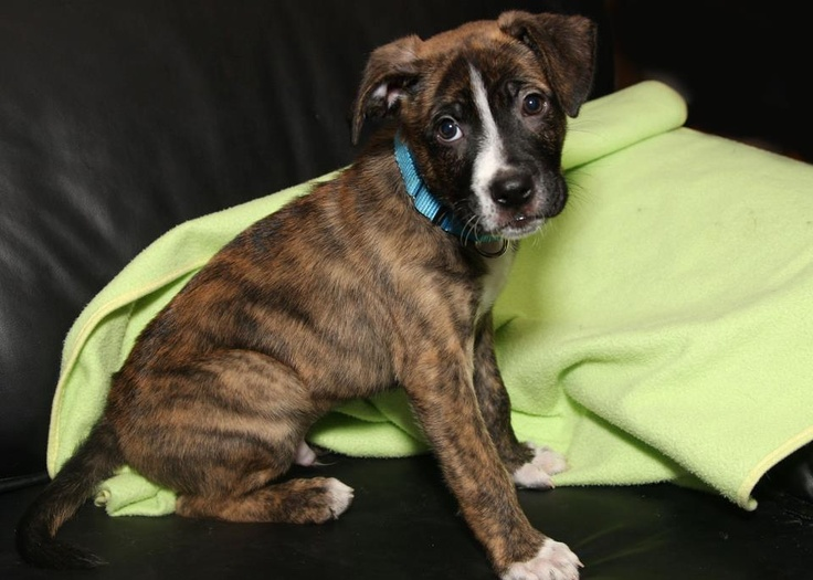 HARPER IS 8 WEEKS OLD Boxer/Pit mix. He was left at the SPCA at 3 1/2 weeks old!  Ready for adoption, this puppy is a challenge, cute, sweet with a devilish side.