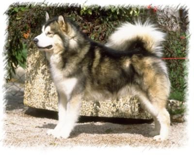 My dream Dog: alaskan malamute white | Alaskan Malamute Puppies, Alaskan Malamutes